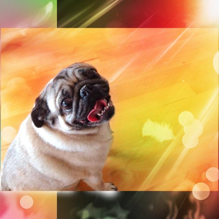 CoCo the Pug